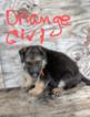 German Shepherd Dog Puppy For Sale in MOUNT PLEASANT, TX, USA