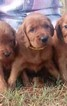 Irish Setter Puppy For Sale in HARRISON, AR, USA