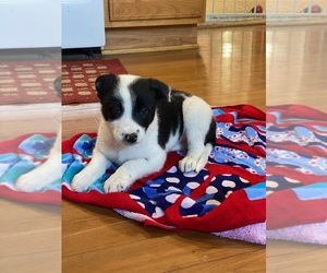 Border Collie Puppy for sale in WOLCOTT, IN, USA