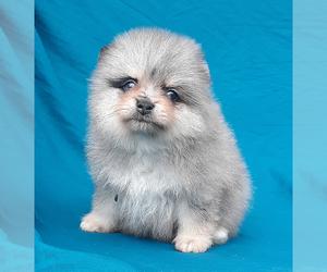 Pomeranian Puppy for sale in PALM BCH GDNS, FL, USA