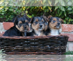 Yorkshire Terrier Puppy for Sale in ESCONDIDO, California USA