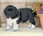 AKC Newfoundland For Sale Dalton OH Female