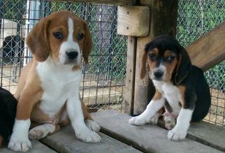 Beagle Puppy for sale in OTWELL, IN, USA