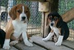 Beagle Puppy For Sale in OTWELL, IN