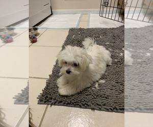 Maltese Puppy for sale in MACOMB, MI, USA