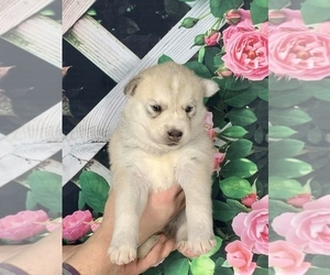 Siberian Husky-Wolf Hybrid Mix Puppy for sale in MONCLOVA, OH, USA