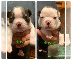 Boston Terrier Puppy for sale in KILGORE, TX, USA