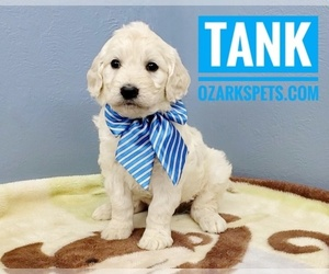 English Cream Golden Retriever-Poodle (Standard) Mix Puppy for sale in CEDAR GAP, MO, USA