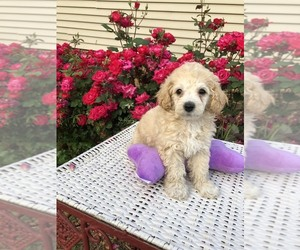 Poodle (Toy) Puppy for sale in ZEBULON, NC, USA