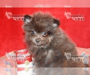 Pomeranian Dog for Adoption in SANGER, Texas USA