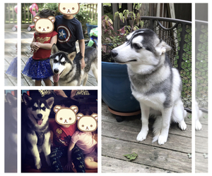 Goberian Puppy for sale in MILFORD, PA, USA