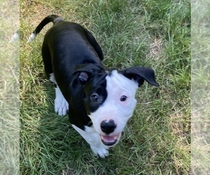 Border Collie-Staffordshire Bull Terrier Mix Puppy for sale in PORT ORCHARD, WA, USA