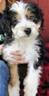 Bernese Mountain Dog-Miniature Bernedoodle Mix Puppy For Sale in BELLVILLE, OH, USA
