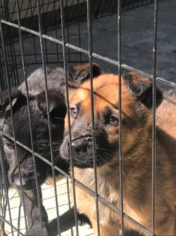 Dutch Shepherd Dog Puppy for sale in ELLENWOOD, GA, USA