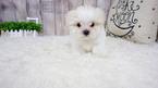 Maltese Puppy For Sale in FULLERTON, CA, USA