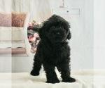 Puppy 2 Maltipoo