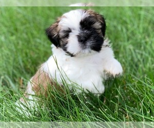 Shih Tzu Puppy for Sale in MURPHYSBORO, Illinois USA