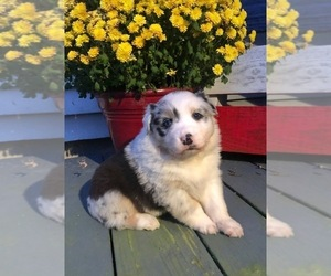 Australian Shepherd Puppy for sale in ROBERTS, IL, USA