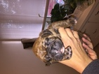Boxer Puppy For Sale in MARTHASVILLE, MO, USA