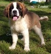 Saint Bernard puppy champion lines
