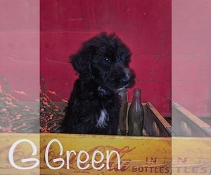 Labradoodle Puppy for Sale in LUDLOW, Missouri USA