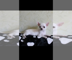 Chihuahua Puppy for sale in KLEIN, TX, USA