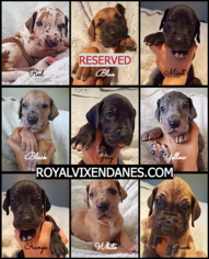 Great Dane Puppy For Sale in FORT WORTH, TX, USA
