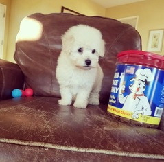Maltese-Poodle (Toy) Mix Puppy For Sale in LOS ANGELES, CA