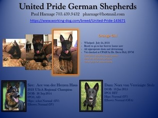 German Shepherd Dog Puppy For Sale in ANNANDALE, VA, USA