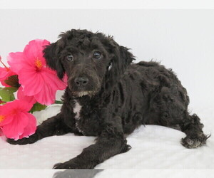 Poodle (Miniature) Dog for Adoption in SHILOH, Ohio USA