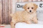 Poodle (Miniature) Puppy For Sale in BEL AIR, Maryland,