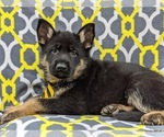 Small Photo #3 German Shepherd Dog Puppy For Sale in NEW PROVIDENCE, PA, USA