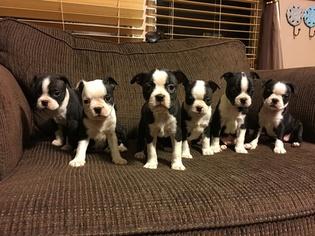 Boston Terrier Puppy For Sale in ROANOKE, VA