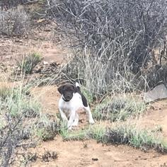 German Shorthaired Pointer Puppy For Sale in PRESCOTT, AZ, USA