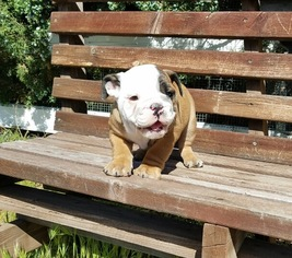 Bulldog Puppy For Sale in LOS ANGELES, CA