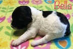 Aussiedoodle Puppy For Sale in WAUSEON, OH, USA