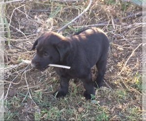 Labrador Retriever Puppy for Sale in PARKER, Kansas USA
