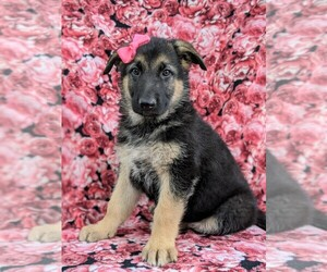 German Shepherd Dog Dog for Adoption in COCHRANVILLE, Pennsylvania USA