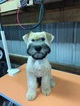 Small #14 Soft Coated Wheaten Terrier