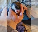 Shih Tzu Puppy For Sale in WICHITA, KS, USA