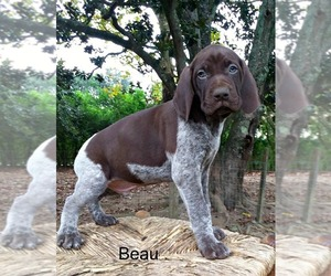 German Shorthaired Pointer Puppy for Sale in ELBERTA, Alabama USA