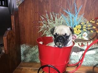 Pug Puppy For Sale in BRIDGEWATER, VA, USA