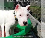 Small Photo #212 Dogo Argentino Puppy For Sale in PINEVILLE, MO, USA