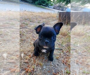 French Bulldog Dog for Adoption in SANTA CLARITA, California USA