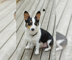 Mother of the Pembroke Welsh Corgi puppies born on 04/01/2019
