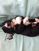 Aussiedoodle Puppy For Sale in DRY RIDGE, KY, USA