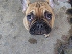 Top quality french bulldog puppy