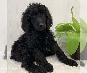 Poodle (Standard) Puppy for Sale in N PLAINFIELD, New Jersey USA