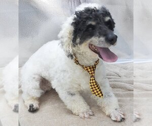 Father of the Miniature Bernedoodle puppies born on 06/25/2020