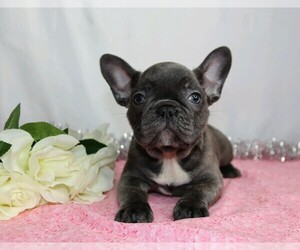 French Bulldog Dog for Adoption in FREDERICKSBG, Ohio USA